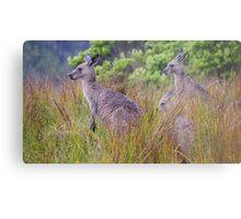 Coastal Kangaroos Metal Print