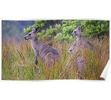 Coastal Kangaroos Poster
