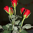 Red Roses by Sunil Bhardwaj