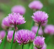 Chives! by woolcos