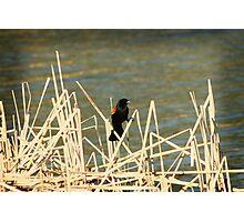 Red Winged Blackbird on Marsh Grass Photographic Print