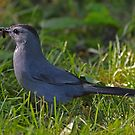 Dumetella Carolinensis - Gray Catbird With A Worm In Beak  | Center Moriches, New York by © Sophie W. Smith