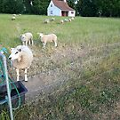 Sheeps at Fuglsang Museum, Denmark by HeklaHekla