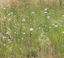 American Star Thistle Patch by Navigator