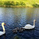 The Danish National Bird, Swan Family by HeklaHekla