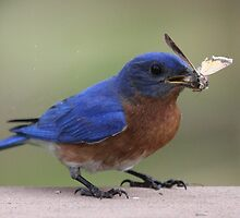 Eastern Bluebird by Sheryl Hopkins