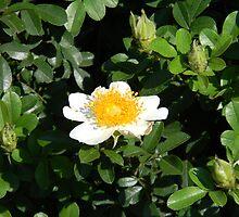 "The ""Egg"" Plant  Bush at McDonald's (Cherokee Rose?) by Navigator"