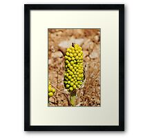 Dragon Lily seed head, Halki Framed Print