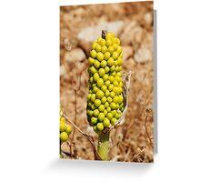 Dragon Lily seed head, Halki Greeting Card