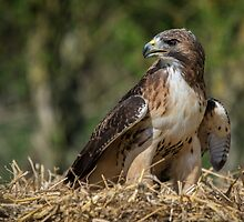 Red tailed hawk by alan tunnicliffe