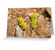 Dragon Lily seed heads, Greece Greeting Card