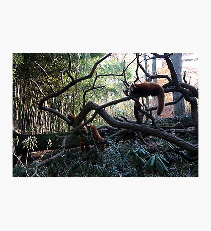 Relaxing Red Pandas Photographic Print