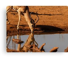Impala reflected. Canvas Print