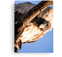 Vulture peers down from the seclusion of a high tree. Canvas Print
