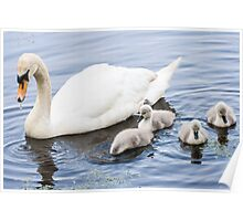 Mother Mute Swan and her Four Cygnets Poster