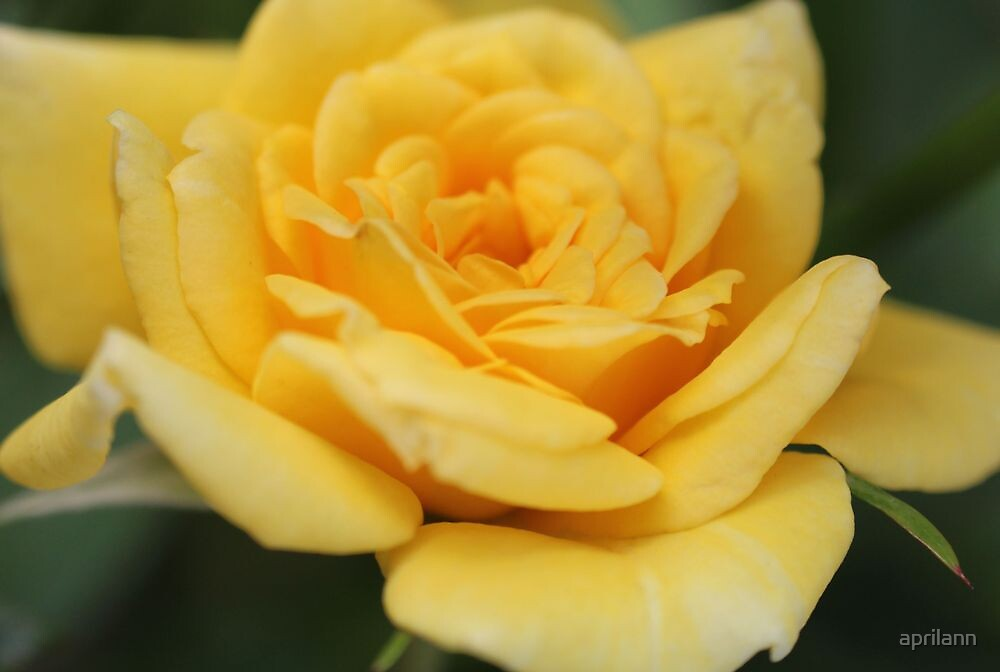 Yellow Rose In Texas by aprilann