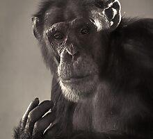 Chimp Portrait by HJIrvine