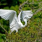 Egret Wings by Kathy Baccari
