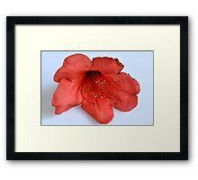 Rhododenron. Framed Print