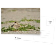 Snowy Plover Chick with Mom, As Is Postcards