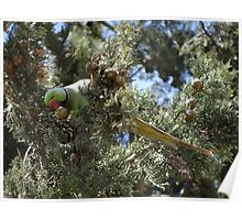 Parrot with a Cypress Pine Poster