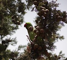 Parrot on a Cypress Tree by Yelena Korenblit