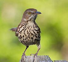 Brown Thrasher (Toxostoma rufum) by Liam Wolff