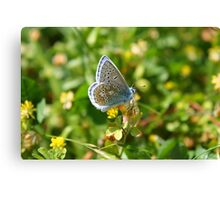 Male Common Blue Canvas Print