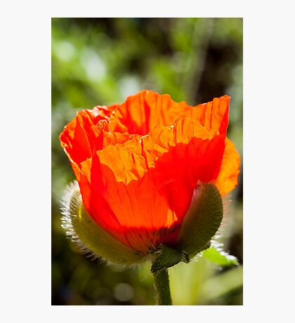 young poppy catching the sun Photographic Print