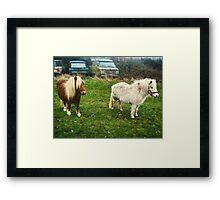 Shetland Ponies Framed Print