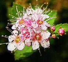 Pink Blossoms by Scott Mitchell