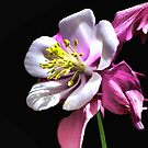 Columbine by Polly Peacock