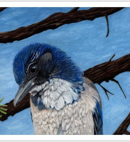 Pretty Western Scrub Jay Bird Sticker