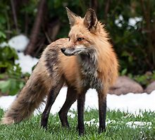 Momma fox a winter day in May by Eivor Kuchta