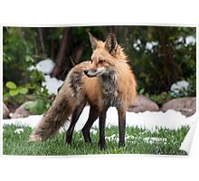 Momma fox a winter day in May Poster