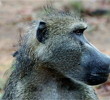 A PENNY FOR YOUR THOUGHTS! - THE CHACHMA BABOON - Papio ursinus - BOBBEJAAN by Magriet Meintjes