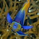 Majestic Angelfish - Pomacanthus navarcus by Andrew Trevor-Jones