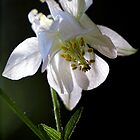 White Columbine - In the Shadows by T.J. Martin