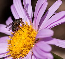 Fly resting on a purple aster by stresskiller