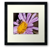 Fly resting on a purple aster Framed Print