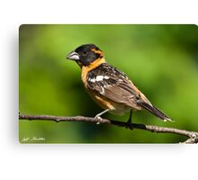 Male Black Headed Grosbeak in a Tree Canvas Print