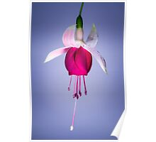 Single Fuchsia Poster