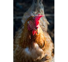 Little Red Hen Photographic Print