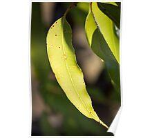 Gum Leaves Poster