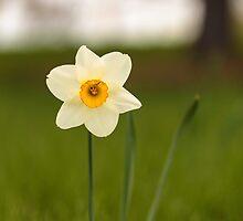 Lone Daffodil by Josef Pittner
