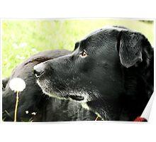 Dog portrait in field Poster