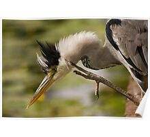Heron with a 'Hair-do' Poster