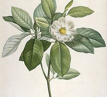 Magnolia Glauca by Bridgeman Art Library