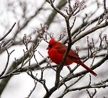 Winter Cardinal - Icy Tree by mcstory