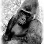the Gorilla by nastruck
